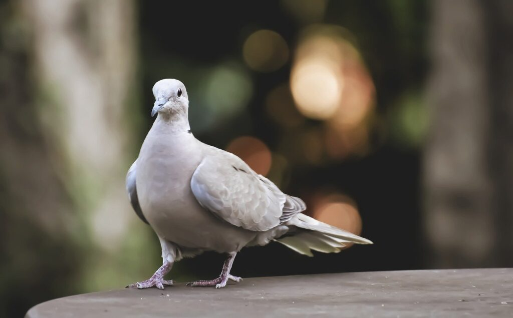 collared, bird, plumage